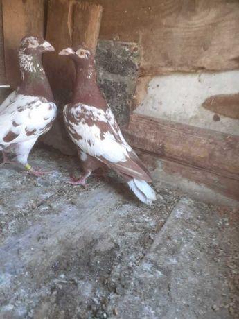 Gołębie mulemansy