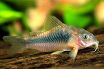 Ryby do akwarium od 1 zł - Kirys spiżowy - hodowla