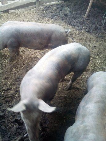 Ремонтне стадо молодих свинок