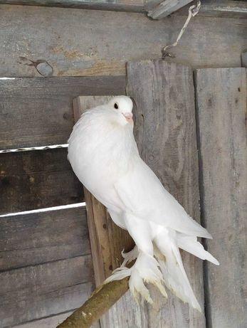 Продаються голуби