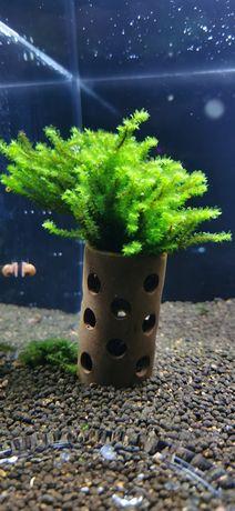 Tubo cerâmica com musgo rare moss