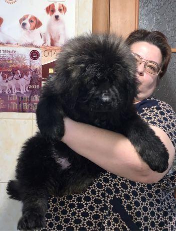 Кавказская овчарка девочка