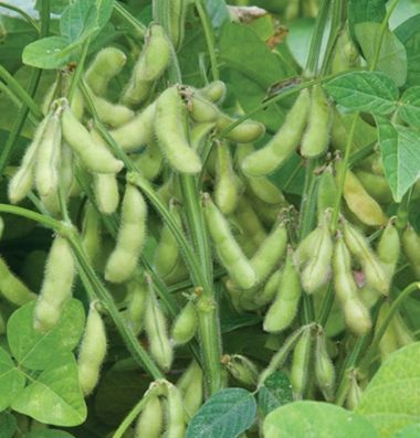 Семена канадского трансгенного сорта сои WHITBY