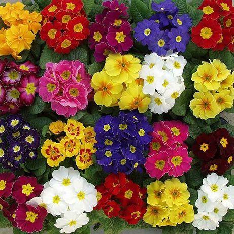 ПРИМУЛА КРОКУС ГИАЦИНТ Нарцисс Тюльпан опт луковичные цветы 8 марта