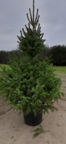Świerk srebrny JODŁA  choinki drzewko bożonarodzeniowe
