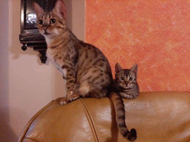 Koty bengalskie bengal