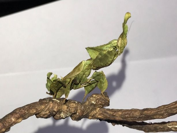 Modliszka Liśćiogłowa Phyllocrania paradoxa Imago SAMICA