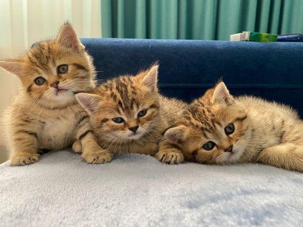 Чудесные котята Скотиш страйт