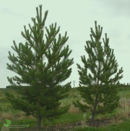 Drzewo sosna oddam Pilne