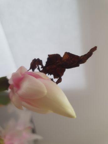 Parka Phyllocrania paradoxa, modliszka lisciogłowa
