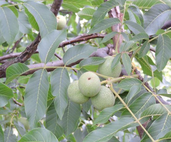 привитые саженцы ореха Идиал