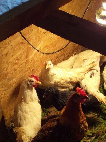 Sprzedam kurczaki leghorn 11 tygodni