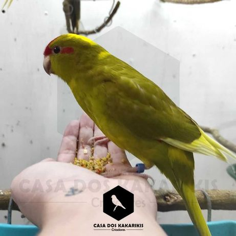 KAKARIKIS , Excelentes  aves  de Companhia