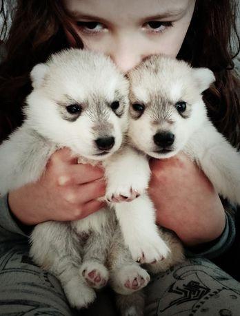 Siberian Husky - mamy szczenięta w hodowli ZKwP / FCI