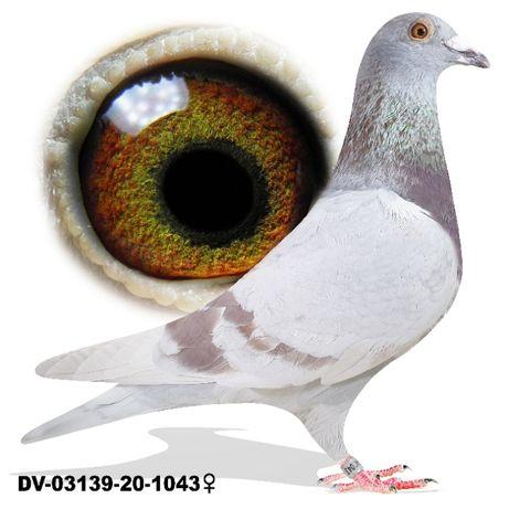 Młode 2021 Para 25 płowe Herbots x Rottmann gołab gołębie pocztowe