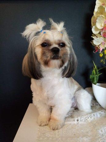 Psi fryzjer , Strzyżenie i pielęgnacja psów. Shih tzu. York. Maltańczy
