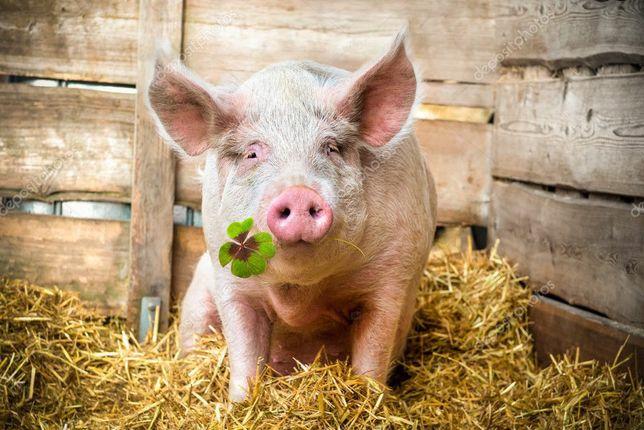 Свиньи свині поросята мясной породы мясної породи від виробника партии