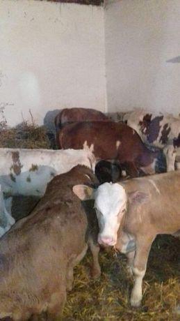 byczki mięsne bielsko biała