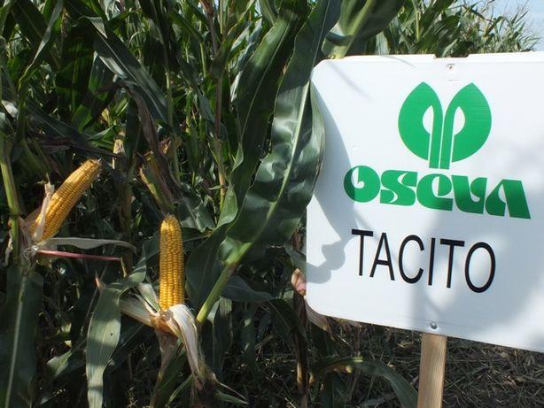 Nasiona kukurydzy kukurydza TACITO kiszonka ziarno FAO 220 230