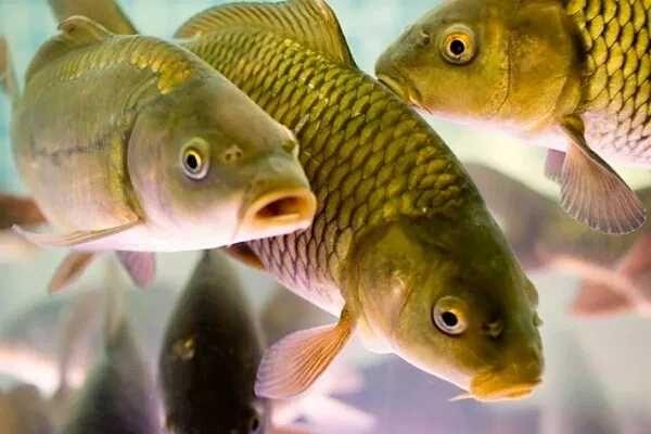 Жива риба оптом     .