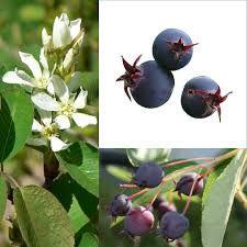 HERBARIUSZ - Krzewy owocowe - ŚWIDOŚLIWA Northline - sadzonaka 60cm
