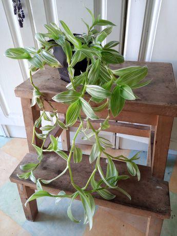 Trzykrotka, roślina pokojowa o zwisających pędach