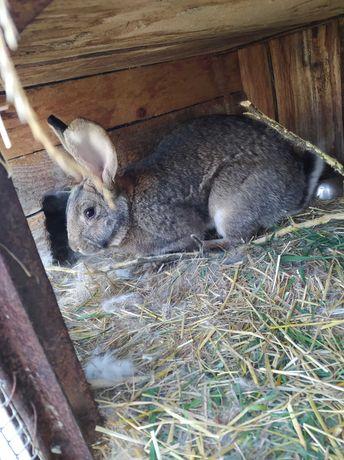 królik samiec dorosły