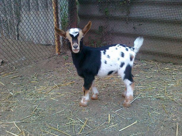 Камерунские козлята,козочки с доставкой по Украине