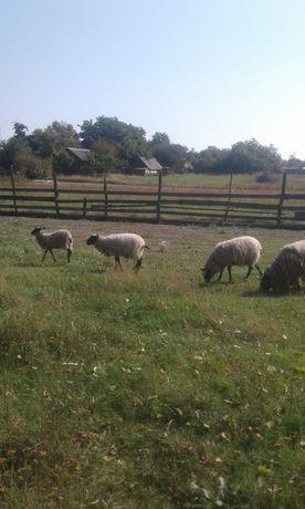Продам овець хорошой породи