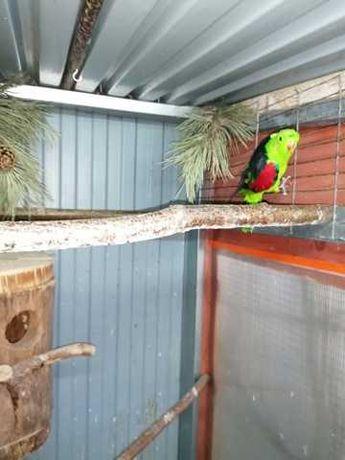 Papuga falista kolorowa