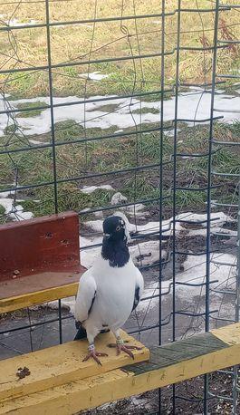 Sprzedam gołębie zakonniki.