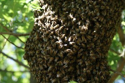 Retiro  enxames de abelhas