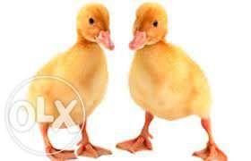 """Утка """"венгерская пёстрая(пёстрый мулард)"""", цыплята."""