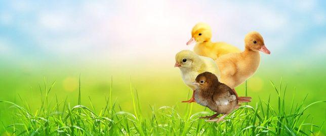 Бройлер, Цыплята, Утята, Гусята