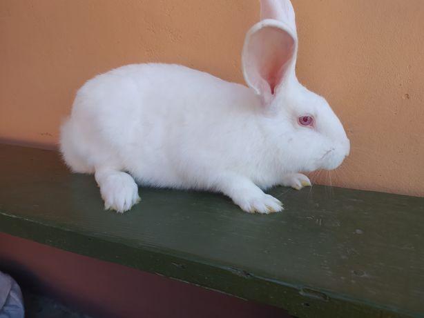 Кролі порода Термонці.