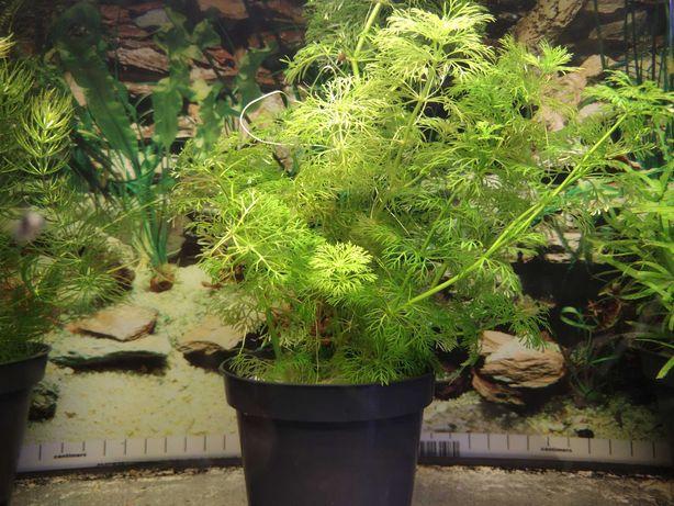 Limnophila Sessiliflora - roślina do akwarium (łatwa w utrzymaniu)