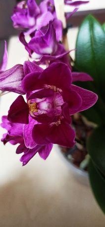 Орхидея домашняя Азиат