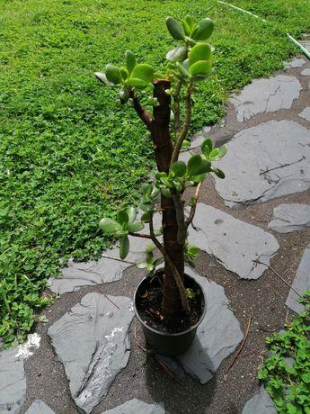 Planta Jade (crassula ovata)