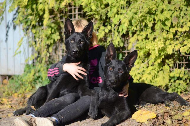 Полностью черные рецессивные щенки немецкой овчарки