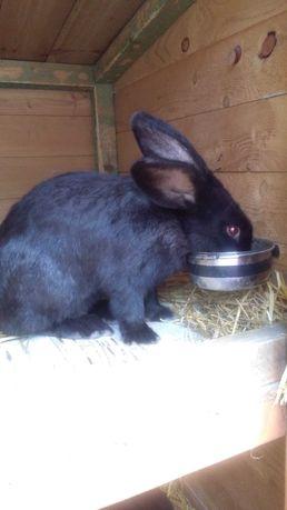 Sprzedam młodego samca królika