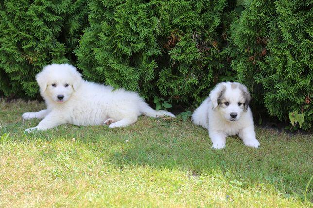 Owczarek podhalański / pirenejski pies górski