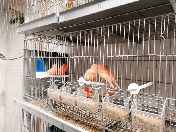 Canarios novos e alguns reprodutores