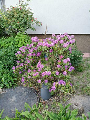 Rododendron kilkuletni Ok 1 metr.