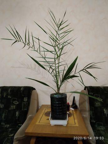 Продам финиковые пальмы 3 шт