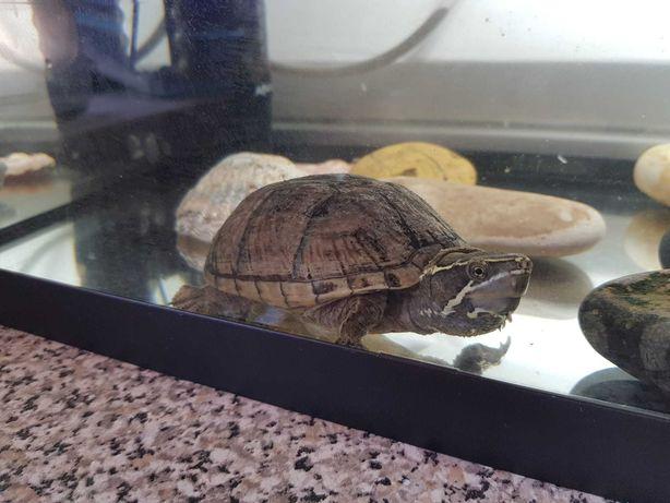Casal de Tartarugas Aquáticas