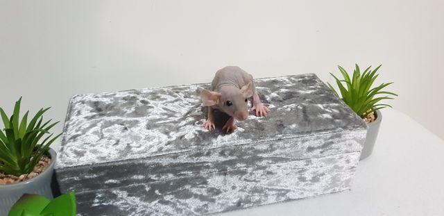 Szczur szczury szczurki przyjazne maluchy =)