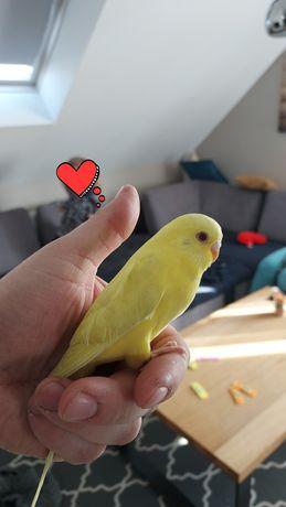 Papużki faliste papuga falista oswojona