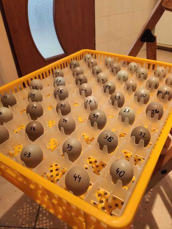 Jaja lęgowe bażanta