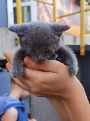 Серые мальчики котята 1,5 мес