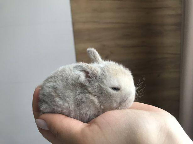 Карликовий висловухий  кролик